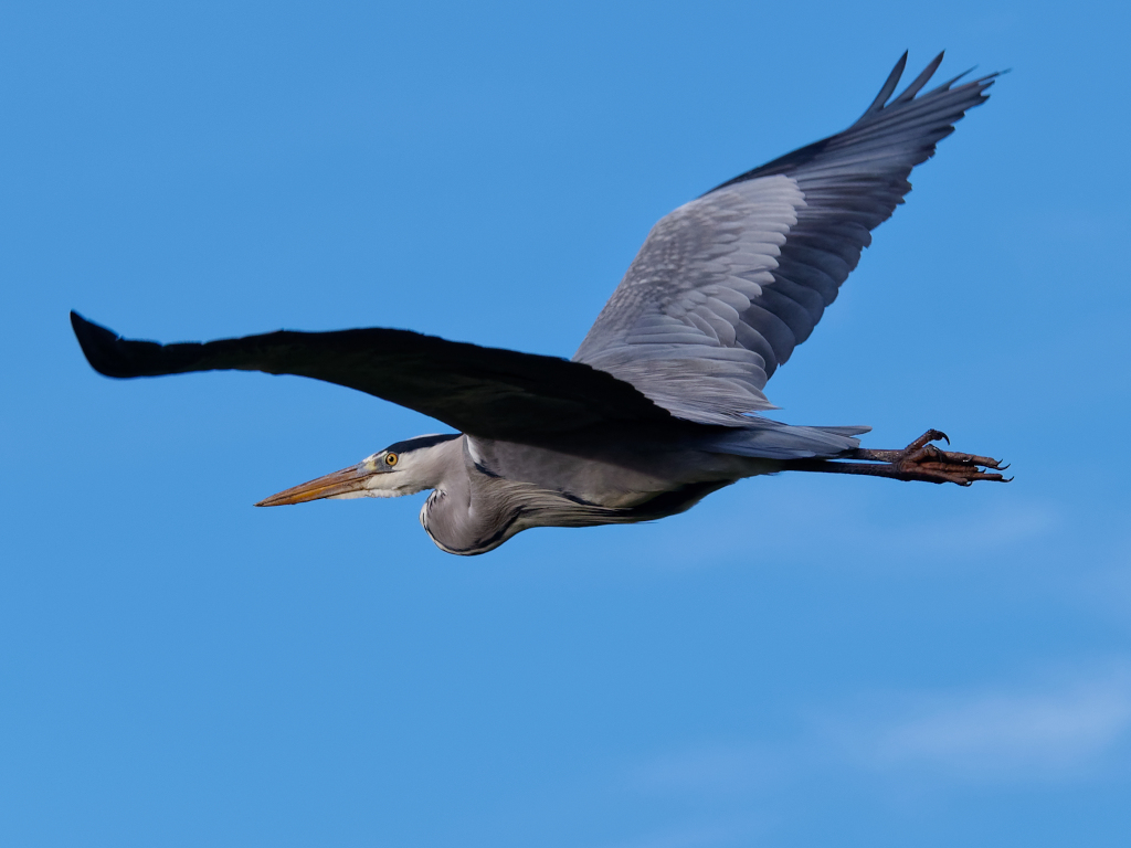 Heron in flight over North Norfolk