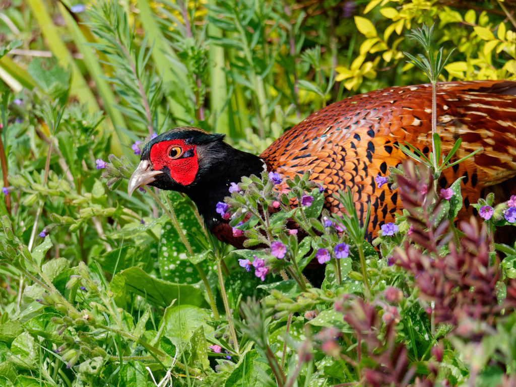 Pheasant in the flowerbed